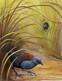 The black rail—a bird that's been flying under the radar since Audubon's day