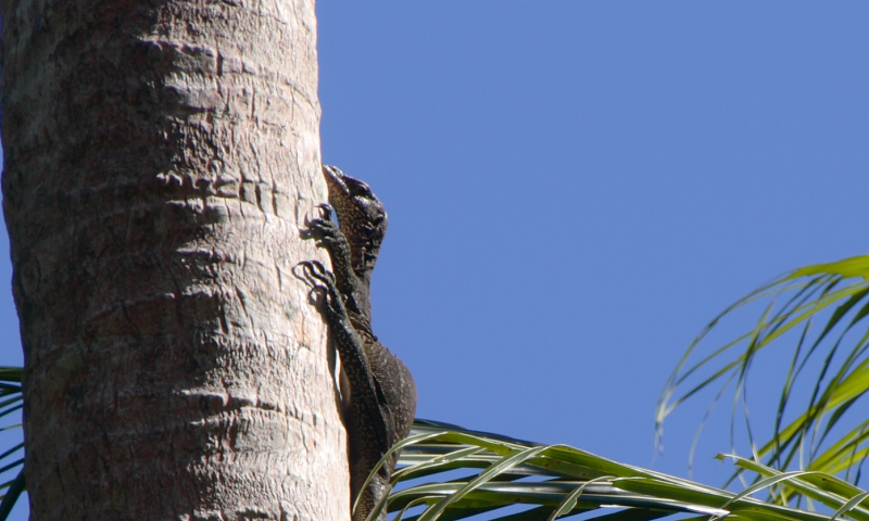 The castaway: New monitor lizard fills top-order predator role on remote Pacific island