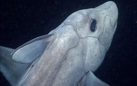 The pointy-nosed blue chimaera really gets around