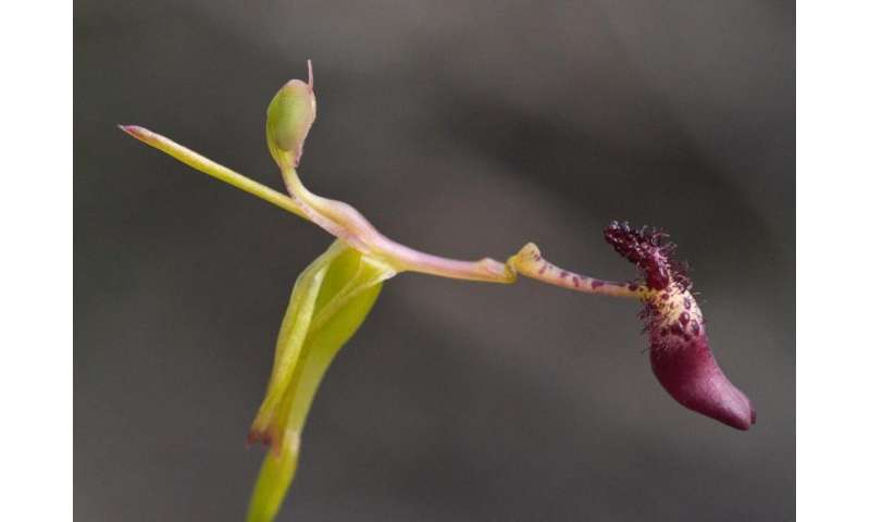 Threatened orchid locations top secret for survival