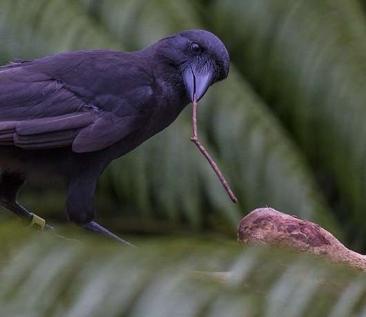 Tropical crow species is highly skilled tool user