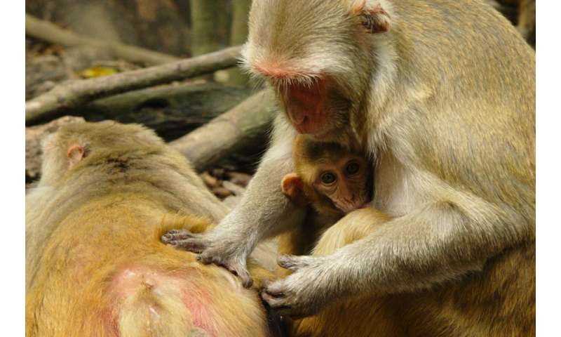 Upward mobility boosts immunity in monkeys