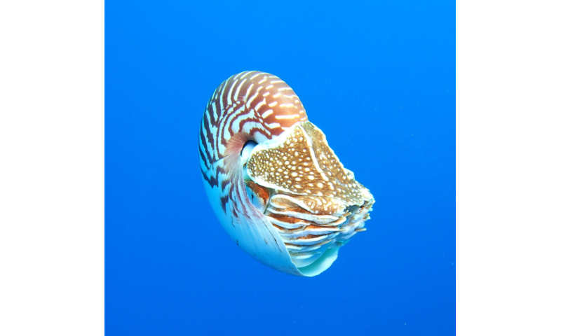 UW research backs up ongoing efforts to protect the enigmatic Nautilus