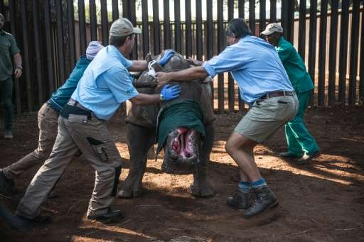 "Veterinarians try to control ""Hope"" the rhino before they treat her after she was left with gaping wounds by poachers"
