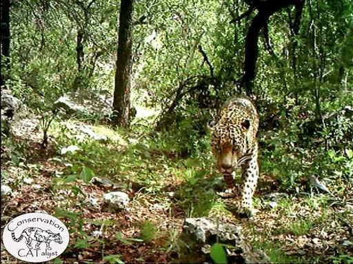 Video shows only known US jaguar roaming Arizona mountains (Update)