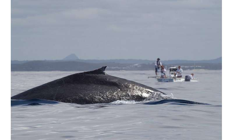 Whale of a job collecting spout samples in wild