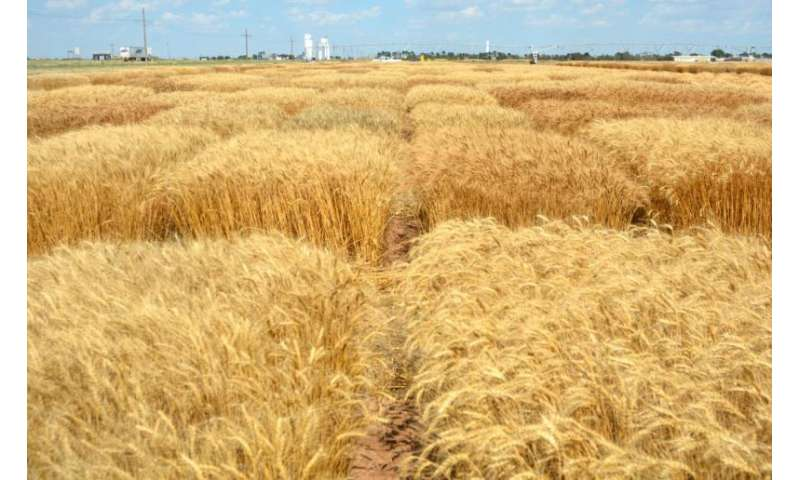 Wheat harvest, research successful in the High Plains