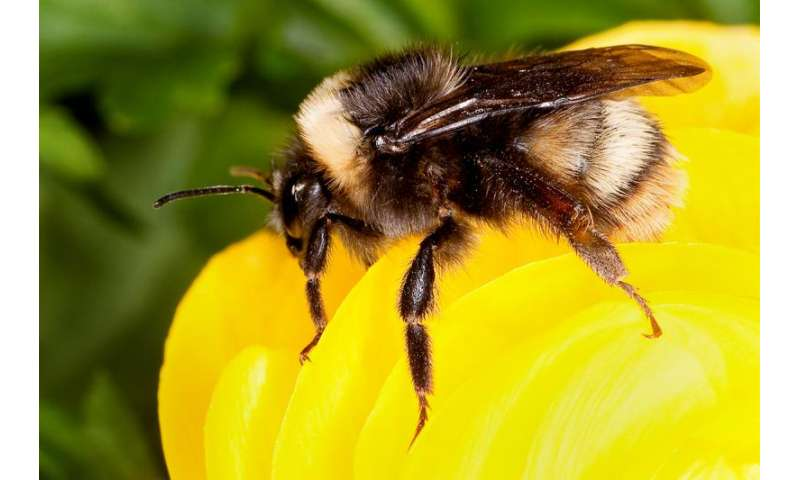Study suggests commercial bumble bee industry amplified a fungal pathogen of bees