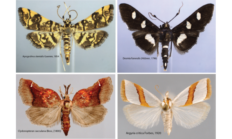 1,541 snout moth species and counting in the United States and Canada