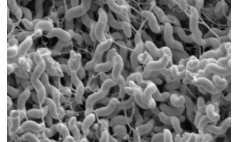 Researchers detail what makes costly ruminant bacteria so infectious