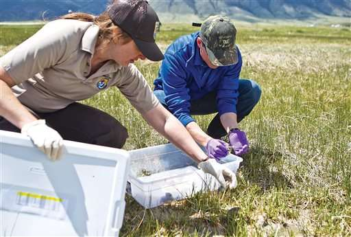 Researchers release hundreds of endangered toads in Wyoming