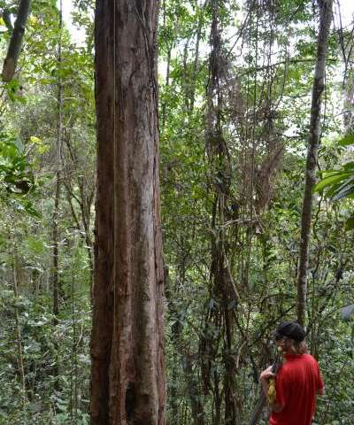 A new scientific name for Brazil's national tree