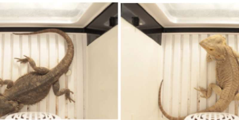 Bearded dragons change color on different body parts for social signals and temperature regulation