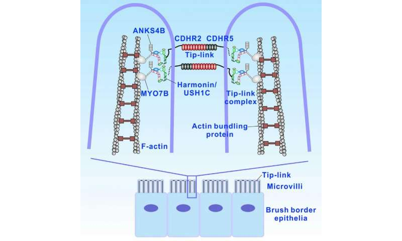 Did ear sensory cell stereocilia evolve from gut microvilli?