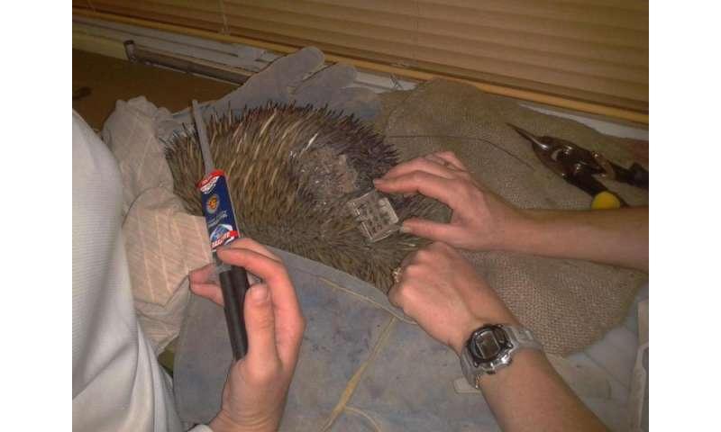 Digging echidnas are essential Australian ecosystem engineers