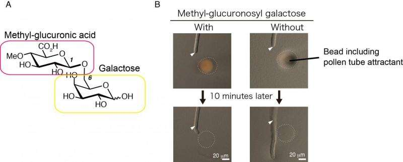 Discovery and synthesis of AMOR sugar chains that guide pollen tube growth