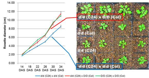 DNA methylation affects superiority of hybrid plants
