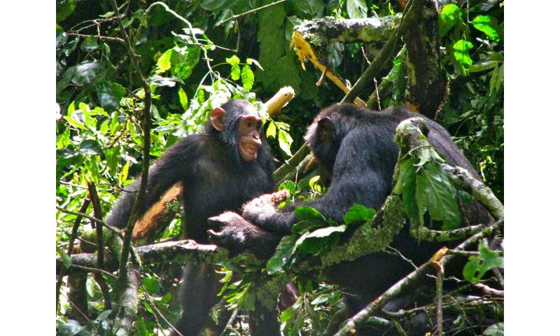 Female chimpanzees employ babysitters to wean young faster