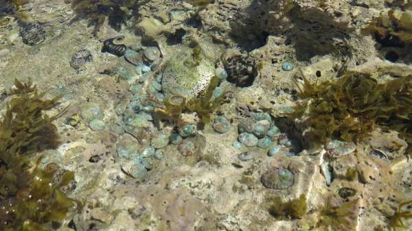 First success for recovering Kalbarri abalone
