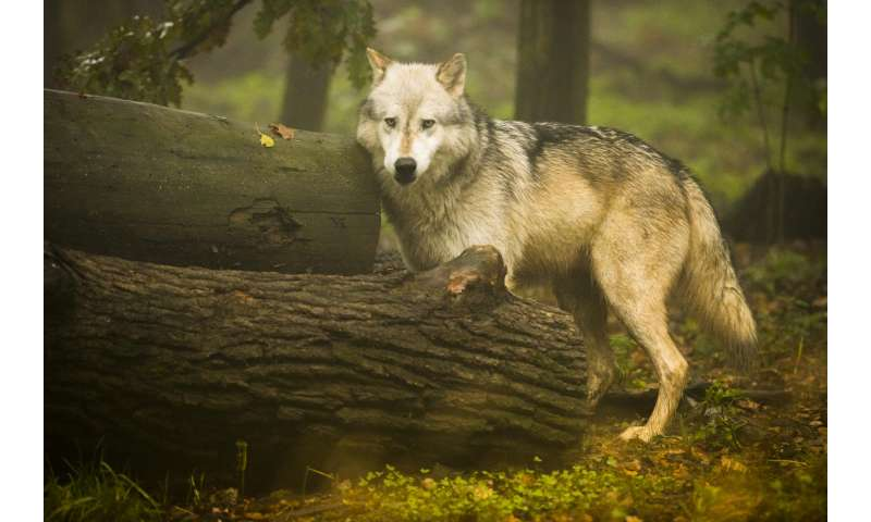 'Gambling' wolves take more risks than dogs