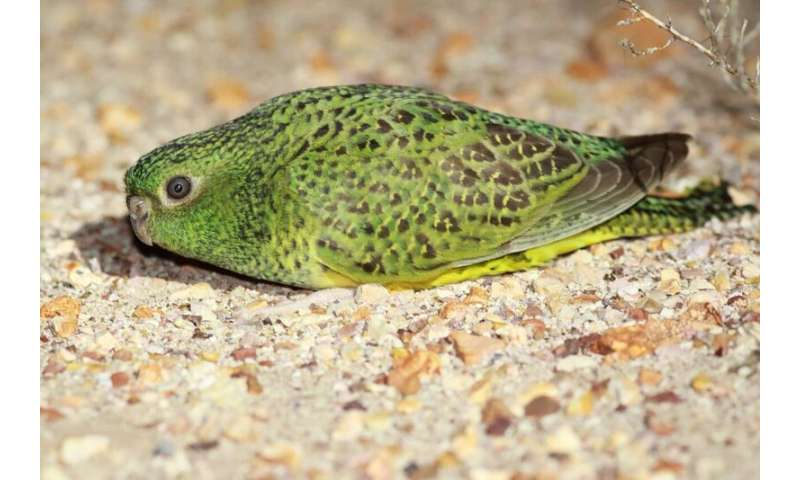 How long between drinks for arid-zone-dwelling night parrot?