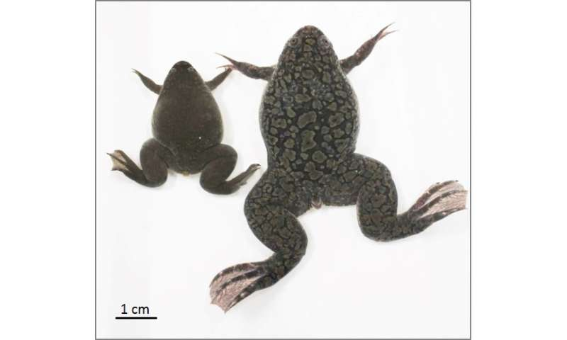How the African clawed frog got an extra pair of genes