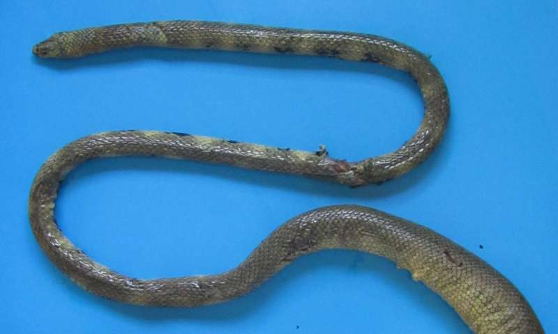 Iranian coastal waters: New home to a rarely seen venomous sea snake
