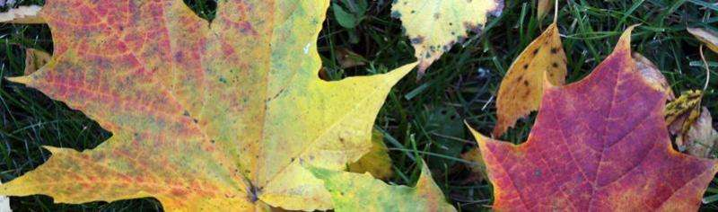 Natural pigments and useful raw materials from autumn leaves for industry