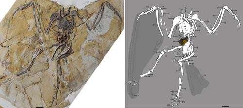 New basal ornithuromorph bird found in China