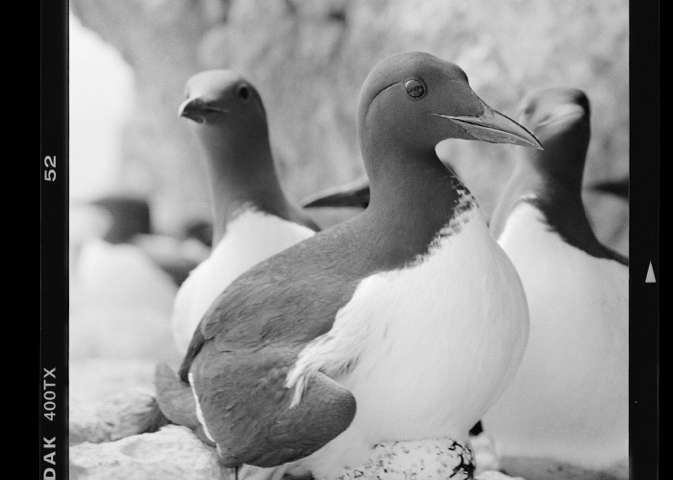 Old tourist photos show seabird's rise over the last century