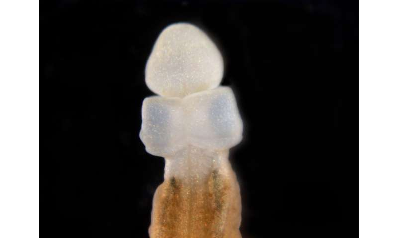 Our closest worm kin regrow body parts, raising hopes of regeneration in humans