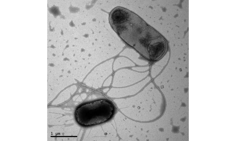 Pandemic E. coli strain H30 cloaks its stealth strategies