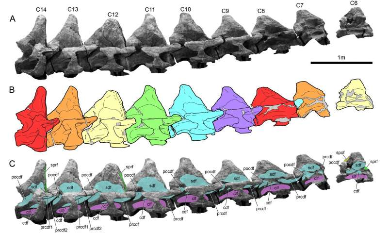 Perot Museum's research on massive vertebrae sheds new light on Alamosaurus sanjuanensis