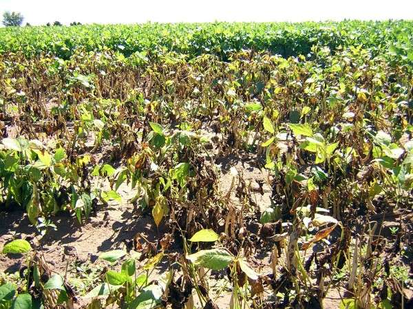 Persistence pays off in battle against bean blight