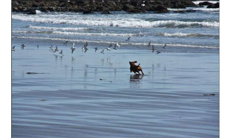 Protecting migratory birds when our beaches have gone to the dogs