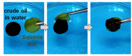 Scientists explore oil clean-up properties of aquatic ferns