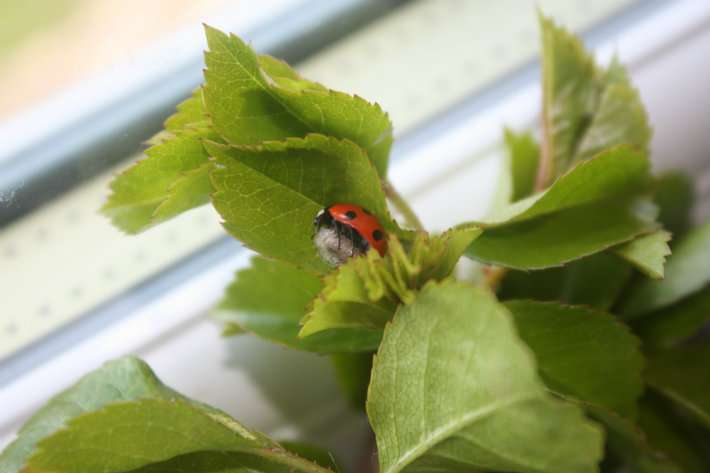 Scientists Need Your Help To Spot Ladybirds