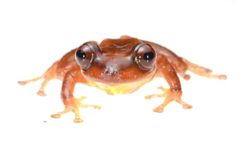 Singing in the rain: A new species of rain frog from Manu National Park, Amazonian Peru