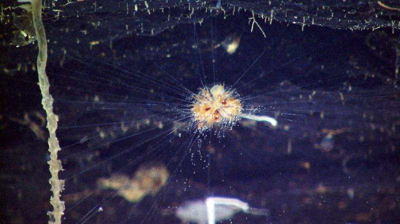 Solved mystery of the deep-sea mushroom just raises new questions