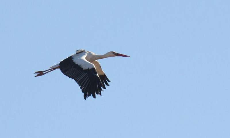 Storks give up on winter migration in favor of junk food