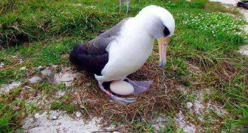 The world's oldest known seabird is expecting -- again