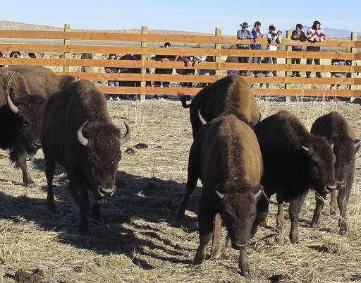 Where the buffalo roam: Herd treads again on tribal land