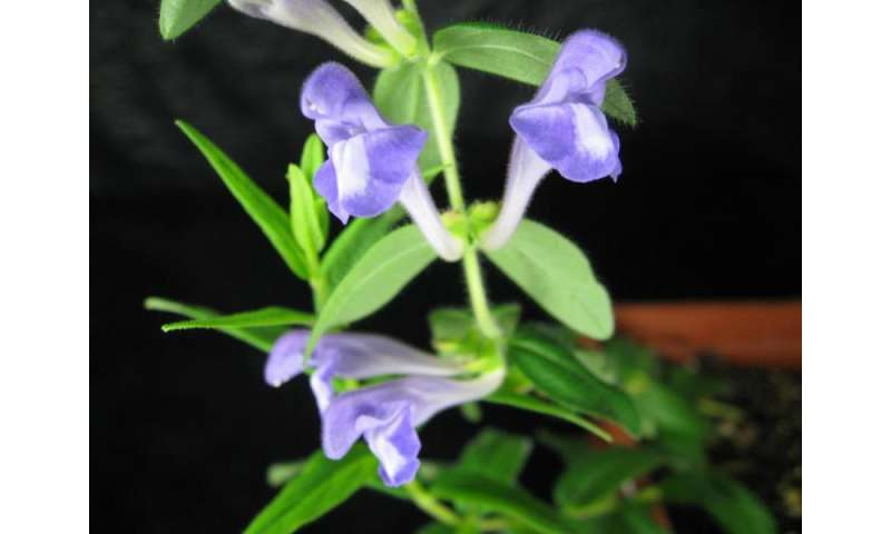 Scientists discover how Chinese medicinal plant makes anti-cancer compound