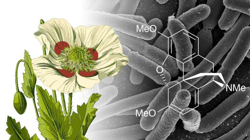 Genetically modified E. coli pump out morphine precursor