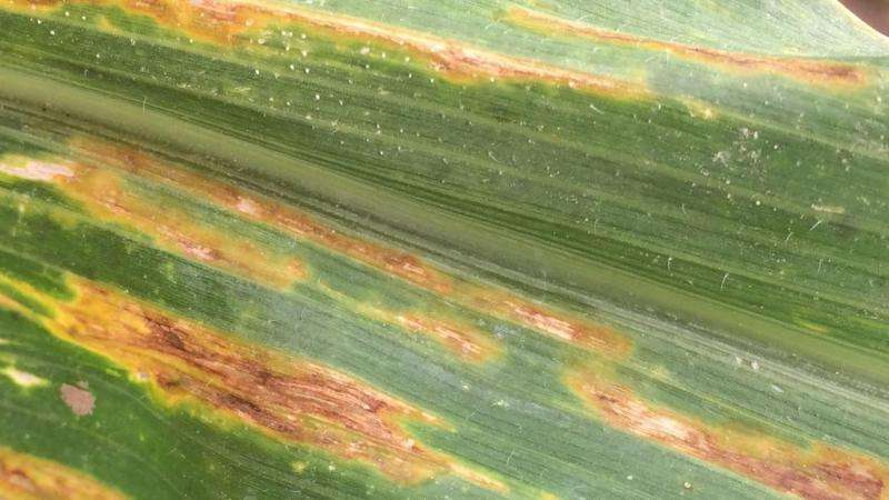 New bacterial pathogen found in corn in Texas