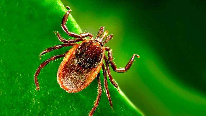 Researchers identify new Borrelia species that causes Lyme disease