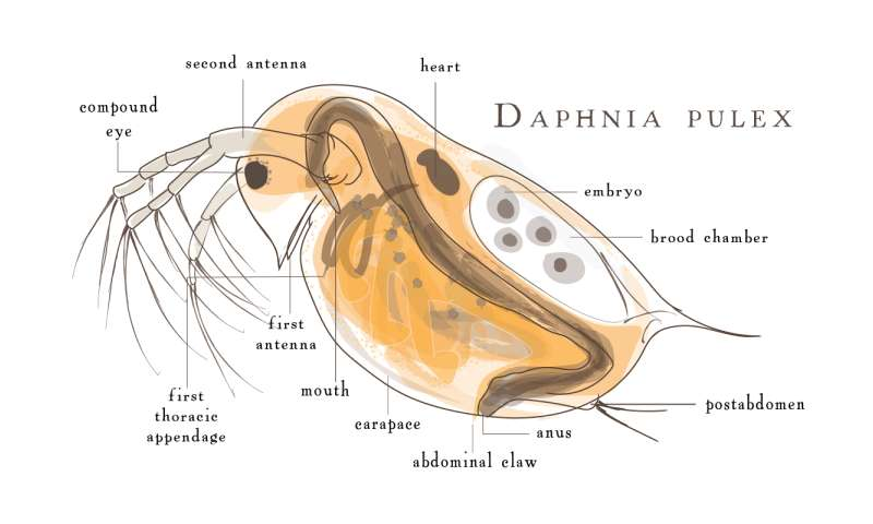 Daphnia asexual reproduction in humans