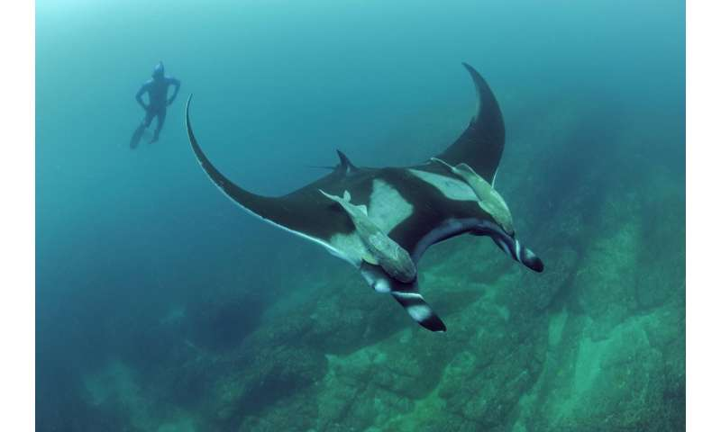 Study finds manta rays are local commuters; not long-distance travelers