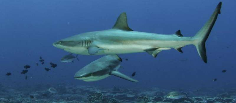 Study finds sharks get bad rap when viewed with ominous background music