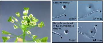 Unraveling the unknown receptors and mechanism for fertilization in plants